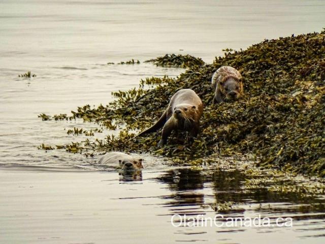River otters playing on the shore near Victoria #olafincanada #britishcolumbia #discoverbc #wildlife #victoria #otter