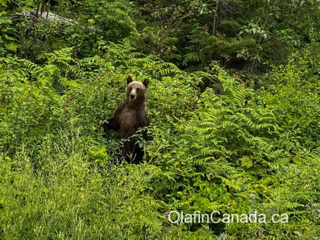 Curious grizzly bear in the Valley of the Ghosts, standing up #olafincanada #britishcolumbia #discoverbc #wildlife #grizzlybear