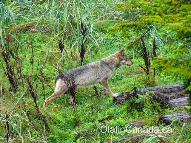 Coastal wolf near Ucluelet on Vancouver Island #olafincanada #britishcolumbia #discoverbc #wildlife #vancouverisland #wolf