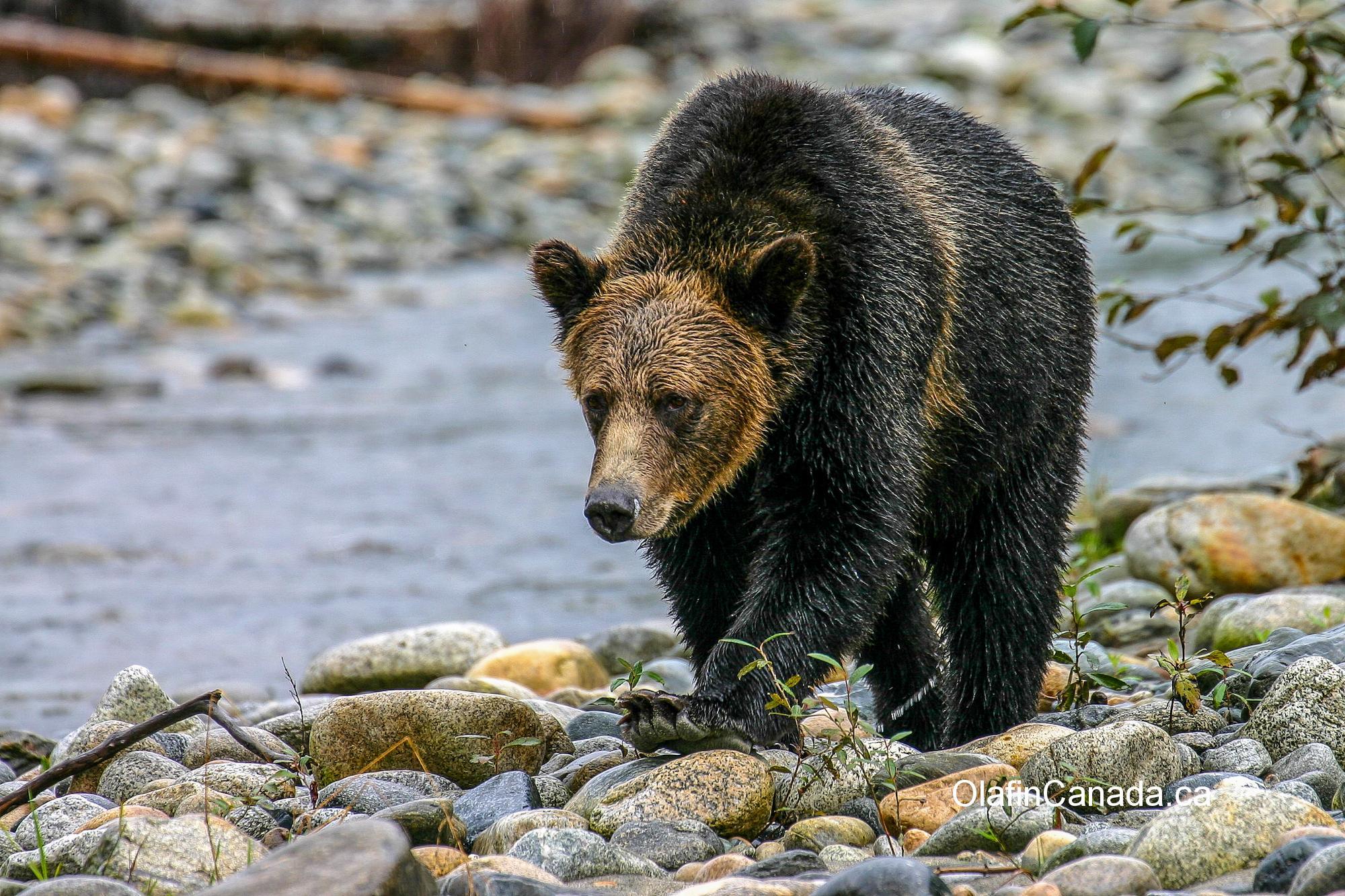 Grizzly bear near Kemano BC #olafincanada #britishcolumbia #discoverbc #kemano #wildlife #grizzlybear